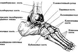 Расположение таранной кости