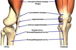 Схема расположения большеберцовой кости
