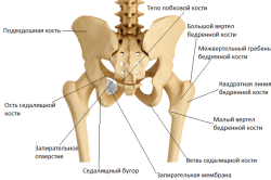 Кости тазового пояса: вид сзади