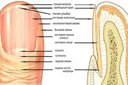 Схема ногтя