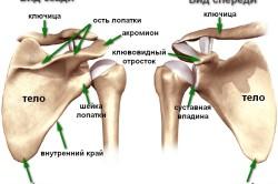 Анатомическое строение плечевого сустава