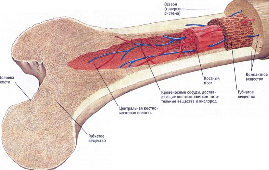 Отек костного мозга бедренной кости лечение
