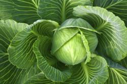 Польза листьев капусты при ушибах