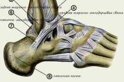 Структура голеностопного сустава