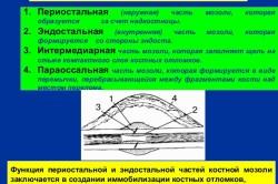 Составные части костной мозоли
