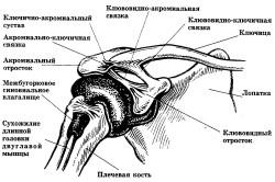 Схема расположения связок плеча